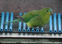 Orange-bellied Parrot - Neophema chrysogaster