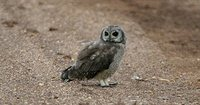 Marsh Owl - Asio capensis