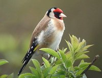 European Goldfinch - Carduelis carduelis