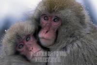 Snow monkeys hugging each other Nagano Japan stock photo