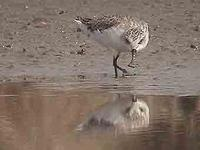 Spoon-billed               sandpiper, Calidris pygmaeus (?)