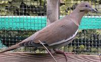 White Winged Dove Zenaida asiatica