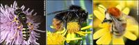...A five-banded weevil wasp (left), a  red-shanked carder bee (middle) and a brown-banded carder b
