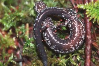 : Batrachoseps wrightorum; Oregon Slender Salamanders
