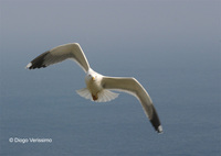 : Larus michahellis; Yellow-legged Gull