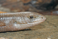 : Ophisaurus apodus; European Glass Lizard