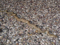 : Pituophis catenifer affinis; Sonoran Gopher Snake