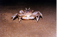 : Ocypode quadrata; Atlantic Ghost Crab