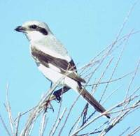 Steppe Shrike