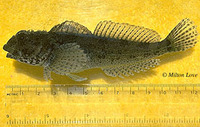 Clinocottus analis, Woolly sculpin: