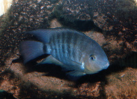 Cryptoheros spilurus, Blue-eye cichlid: aquarium