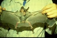 Image of: Chrotopterus auritus (big-eared woolly bat)