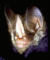 Image of: Mimon crenulatum (striped hairy-nosed bat)