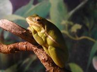 Hyla cinerea - Green Tree Frog
