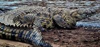 Image of: Crocodylus niloticus (Nile crocodile)