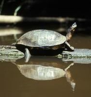 Image of: Dermatemys mawii (Mesoamerican river turtle)