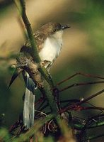 Black-billed Cuckoo (Coccyzus erythropthalmus) photo