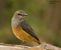 Little Rock-Thrush - Monticola rufocinereus