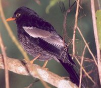 Gray-winged Blackbird - Turdus boulboul