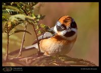 Black-throated Tit - Aegithalos concinnus