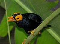 yellow-faced myna ( Mino dumontii ) Flickr