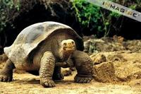 Galapagos Giant Tortoise (Geochelone elephantopus) photo