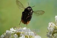 Red tailed bumble bee ( Bombus lapidarius ) stock photo