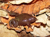 : Myersiella microps; Rio Elongated Frog