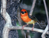 : Foudia eminentissima; Red-headed Fody