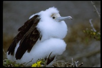 : Fregata minor; Great Frigatebird
