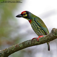 Coppersmith Barbet Scientific name - Megalaima haemacephala
