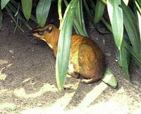 Image of: Tragulus napu (greater mouse-deer)