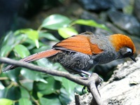 Garrulax milnei - Red-tailed Laughingthrush