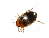 Image of: Dytiscidae (predaceous diving beetles)