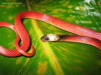 Image of: Drepanoides anomalus (black-collared snake)