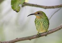 Purple Honeycreeper (Cyanerpes caeruleus) photo
