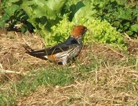 Lesser Striped-Swallow - Cecropis abyssinica