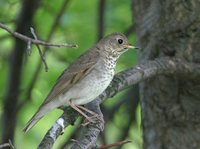 Gray-cheeked Thrush - Catharus minimus
