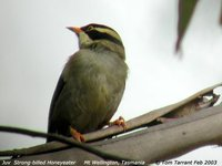 Strong-billed Honeyeater - Melithreptus validirostris