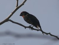Greater Antillean Bullfinch - Loxigilla violacea