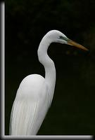 Great Egret, Dobbs Ferry, NY