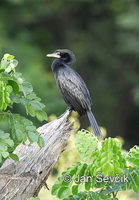 Photo of kormorán Phalacrocorax niger Little Cormorant