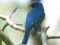 Cyanoptila cyanomelana Blue-and-White Flycatcher オオルリ♂