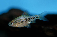Puntius oligolepis, Checkered barb: aquarium