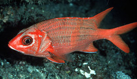 Sargocentron tiere, Blue lined squirrelfish: