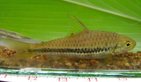 Puntius pleurotaenia, Black lined barb: fisheries, aquarium