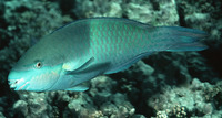 Scarus scaber, Fivesaddle parrotfish: fisheries