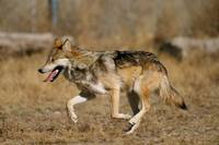 Canis lupus baileyi - Mexican Gray Wolf