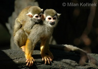 Saimiri sciureus - South American Squirrel Monkey