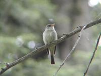 Image of: Contopus virens (eastern wood pewee)